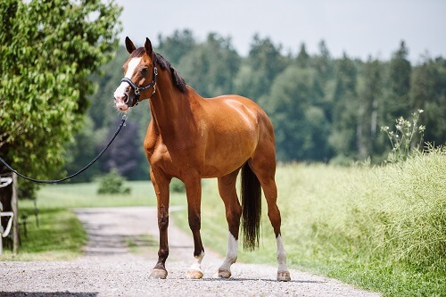 Pferd-stehend