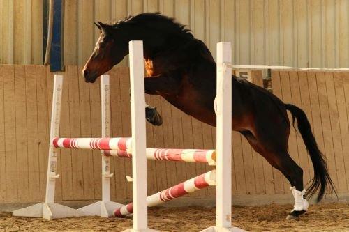 Freispringen-Pferd
