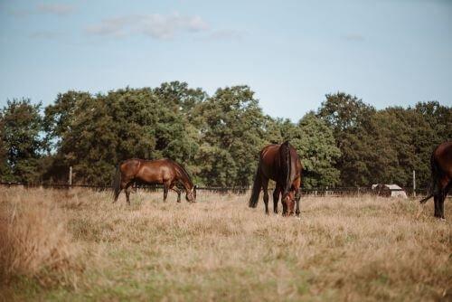 Pferde-auf-der-Weide