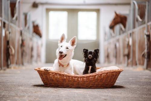 Hunde-im-Stall
