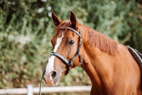 Pferd-gymnastizieren-Kappzaum