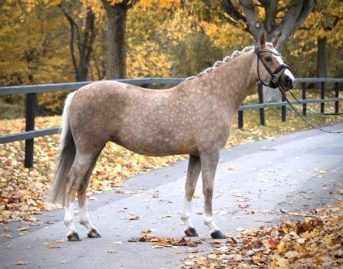 Isabellfarben-Pferd
