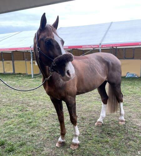 Pferd-im-StallzeltvZTxLxEHDOQnK