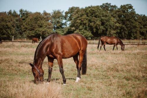 Braune-Pferde-auf-Weide
