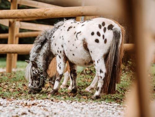 Tigerschecke-Pferdefarbe