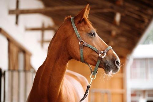 Kehlkopfpfeifen-beim-Pferd